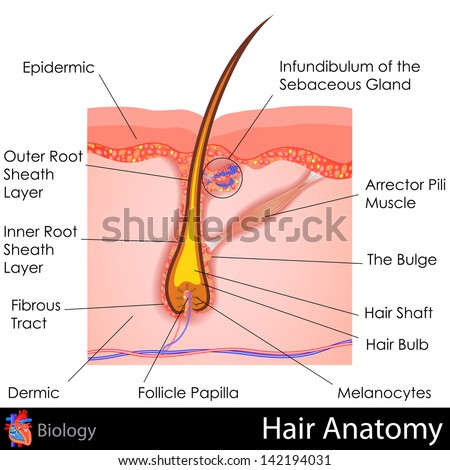 easy to edit vector illustration of human Hair Anatomy - stock vector