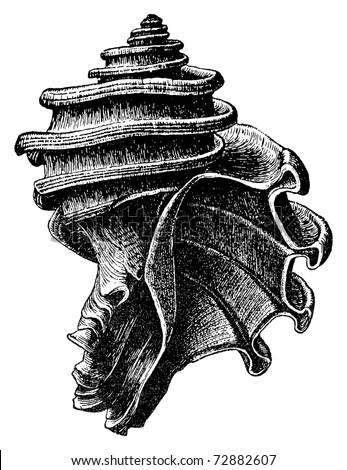 Ecphora gardnerae is a species of fossil predatory sea snail, an extinct marine gastropod mollusk in the family Muricidae, the rock snails. Original illustration created by J.C. McConnell, died 1904 - stock vector