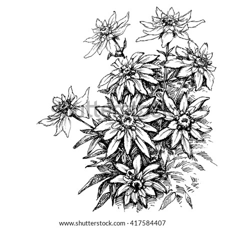 Edelweiss Etching Rare Flowers Foliage Stock Vector 417584407