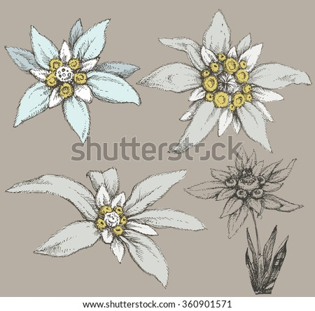 Edelweiss flower collection - stock vector