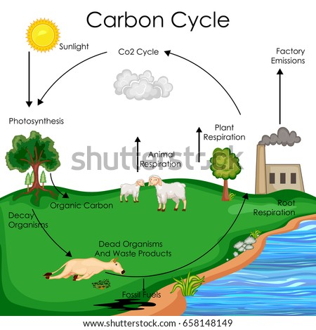 Carbon cycle stock images royalty free images vectors education chart of biology for carbon cycle diagram vector illustration ccuart Choice Image