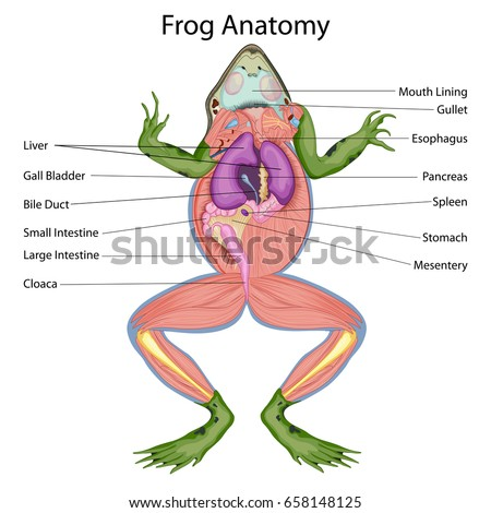 Internal organs of a frog diagram