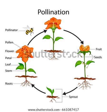 the process of pollination and and cross pollination in plants Pollination is a very important part of the life cycle of plants insects, birds, bats and the wind take pollen between flowering plants, which means the plants can make seeds and reproduce.