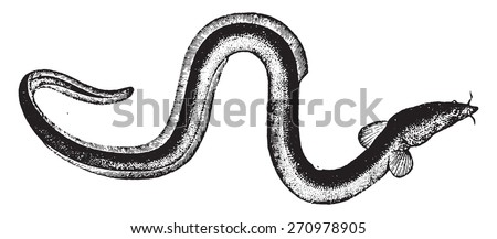Eel, vintage engraved illustration. Natural History of Animals, 1880. - stock vector