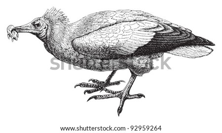 egyptian vulture drawing - photo #18