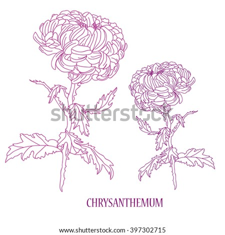 Elegant decorative chrysanthemum flower, design element. Floral decoration for vintage wedding invitations, greeting cards, banners