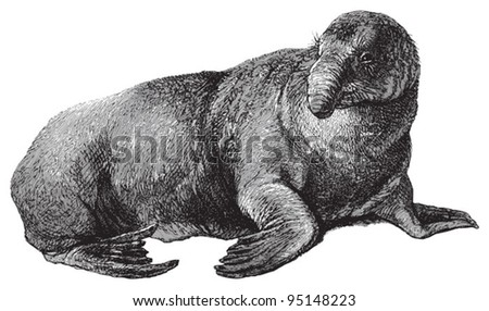 Elephant seal (Cystophora proboscidea) / vintage illustration from Meyers Konversations-Lexikon 1897
