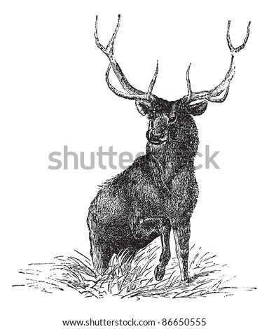 Elk or Wapiti or Cervus canadensis, vintage engraved illustration. Trousset encyclopedia (1886 - 1891). - stock vector