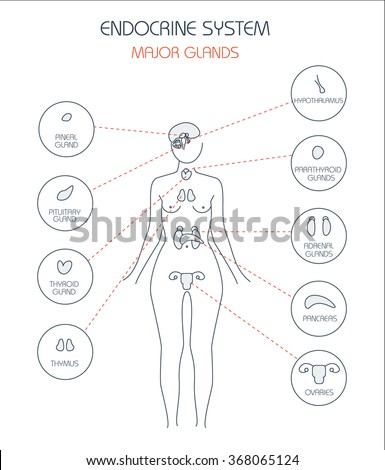Endocrine System Human Anatomy Human Silhouette Stock Vector ...