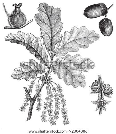 English Oak (Quercus pedunculata) / vintage illustration from Meyers Konversations-Lexikon 1897 - stock vector