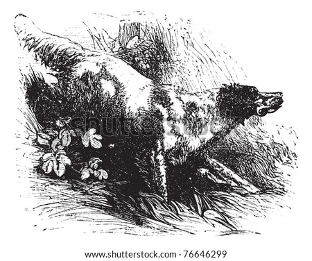 English Setter or Canis lupus familiaris, vintage engraving. Old engraved illustration of an English Setter. Trousset encyclopedia. - stock vector