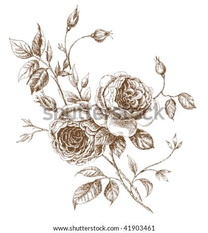 Engraved english rose. Vector illustration - stock vector