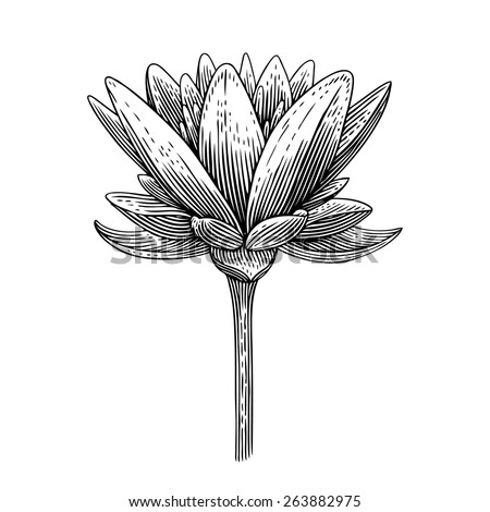 Engraved vector illustration of lotus  - stock vector