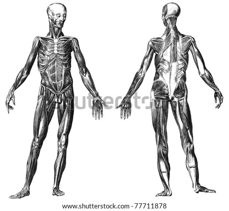Engraving body with muscles illustrations from atlas published in 1851 (The iconographic encyclopedia of science, literature and art). Vector image. Other illustrations in my portfolio. - stock vector