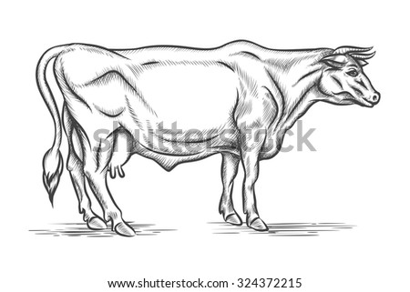 Engraving cow. Vector hand drawn illustration. Mammal cattle, graphic bull, horn and head - stock vector