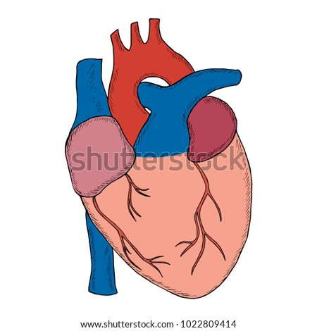 Engraving hand draw human heart in sketch style illustration isolated on white background anatomical