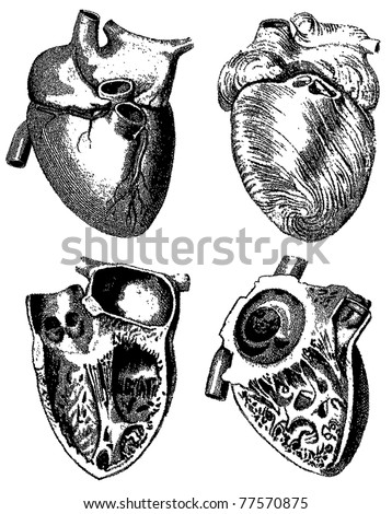 Engraving heart illustrations from atlas published in 1851 (The iconographic encyclopedia of science, literature and art). Vector image. Other illustrations in my portfolio. - stock vector