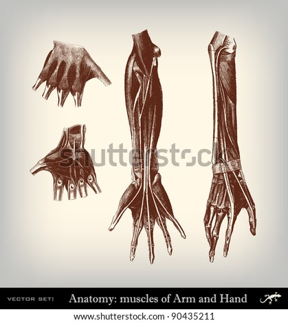 """Engraving vintage muscles arm from """"The Complete encyclopedia of illustrations"""" containing the original illustrations of The iconographic encyclopedia of science, literature and art, 1851. Vector. - stock vector"""