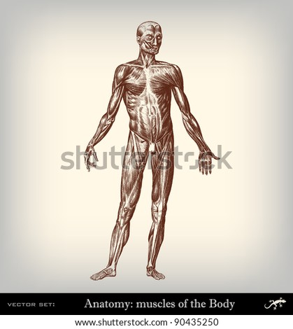 """Engraving vintage muscles body from """"The Complete encyclopedia of illustrations"""" containing the original illustrations of The iconographic encyclopedia of science, literature and art, 1851. Vector. - stock vector"""