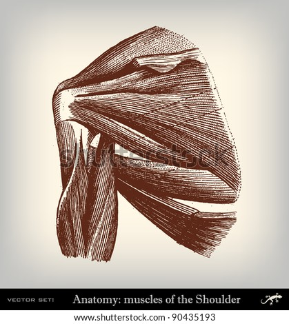 """Engraving vintage muscles shoulder from """"The Complete encyclopedia of illustrations"""" containing the original illustrations of The iconographic encyclopedia of science, literature and art, 1851. - stock vector"""