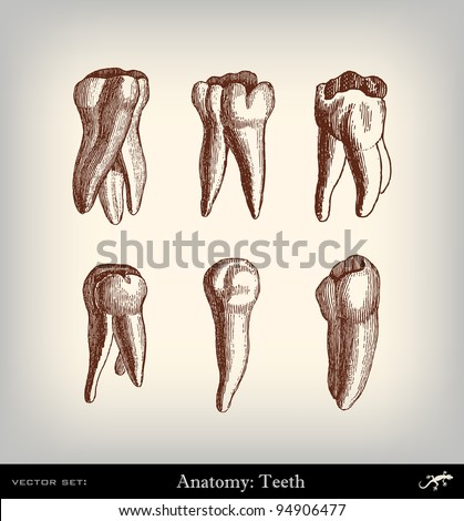 """Engraving vintage tooth set from """"The Complete encyclopedia of illustrations"""" containing the original illustrations of The iconographic encyclopedia of science, literature and art, 1851. Vector. - stock vector"""