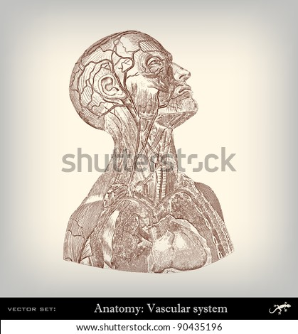 """Engraving vintage vascular system from """"The Complete encyclopedia of illustrations"""" containing the original illustrations of The iconographic encyclopedia of science, literature and art, 1851. Vector. - stock vector"""