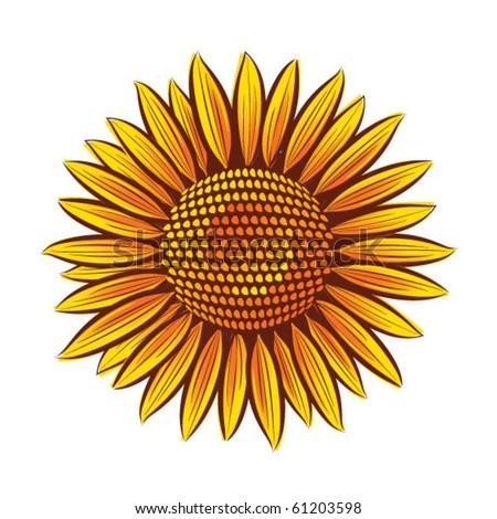 Eps10 Vector sunflower head isolated on white background - stock vector