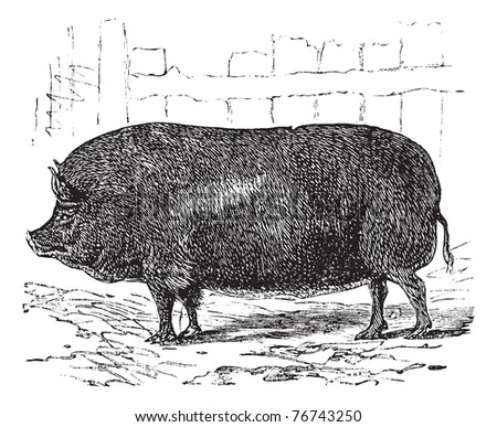 Essex or Sus bucculentus, vintage engraving. Old engraved illustration of an Essex pig. Trousset Encyclopedia. - stock vector