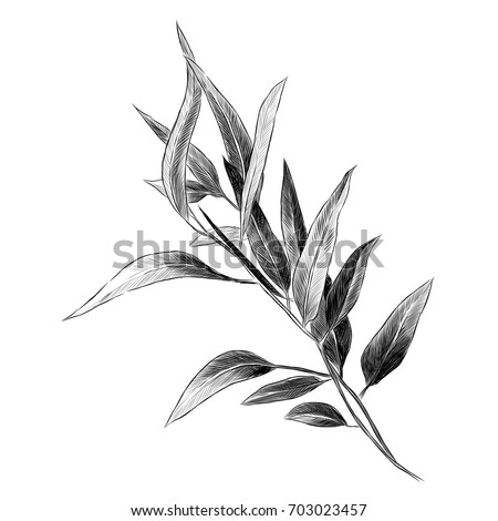 Eucalyptus Leaves Sketch Vector Graphics Monochrome 703023457