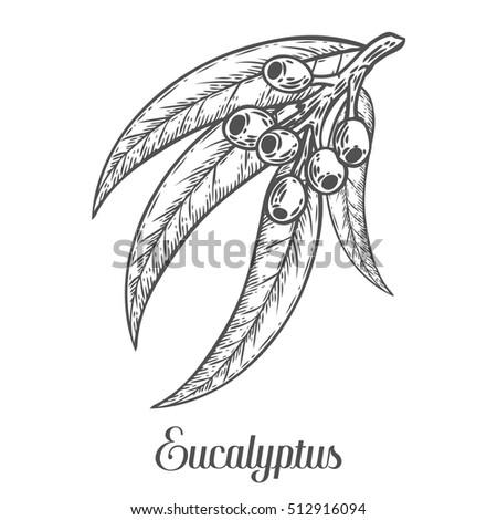 Eucalyptus Leaves Drawing
