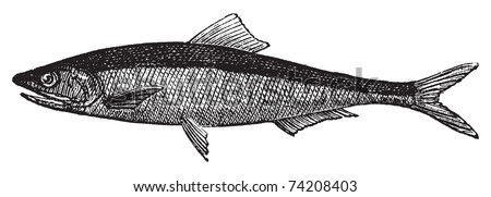 European anchovy or engraulis encrasicholus old vintage engraving. Anchovy fish engraved illustration in vector, isolated on white. - stock vector