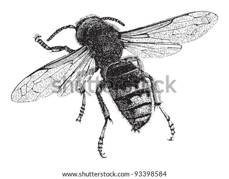 European hornet (Vespa crabro) / vintage illustration from Meyers Konversations-Lexikon 1897 - stock vector