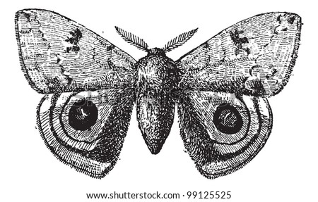 European Peacock or Peacock butterfly, vintage engraved illustration. Dictionary of words and things - Larive and Fleury - 1895. - stock vector