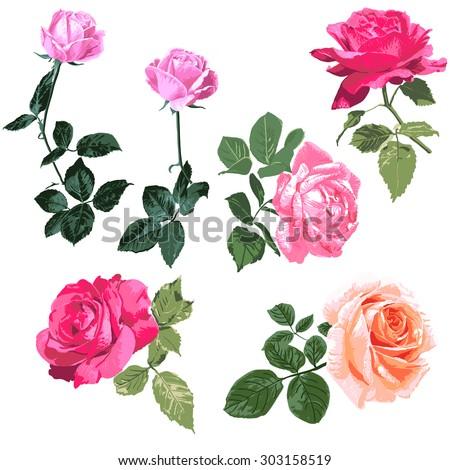 Exquisite hand-painted roses illustration, a single branch pink rose pattern on white background, color design elements,floral design elemen, vector - stock vector