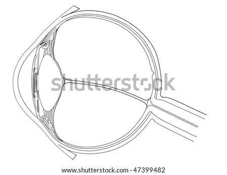 Eye anatomy - stock vector