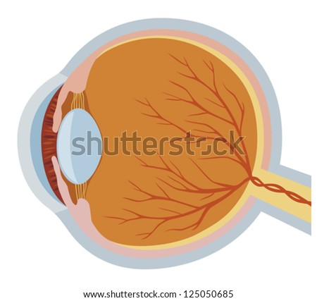 eye anatomy vector illustration (anatomy of the eye, illustration of parts of the human eye) - stock vector