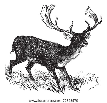 Fallow Deer or Dama dama, vintage engraving. Old engraved illustration of a Fallow Deer. Trousset Encyclopedia - stock vector