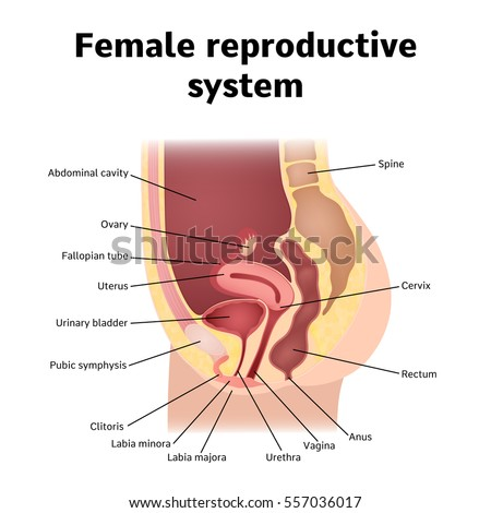 Female Internal Genital Organs Sectional Structure Stock Vector