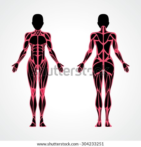 Female muscular anatomy vector scheme - posterior and anterior view. Fitness training, woman muscles workout. Female fitness model.  Sport & fitness, muscle body. Exercise  muscle guide. Gym training. - stock vector