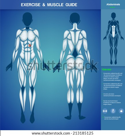 Female muscular system  - stock vector