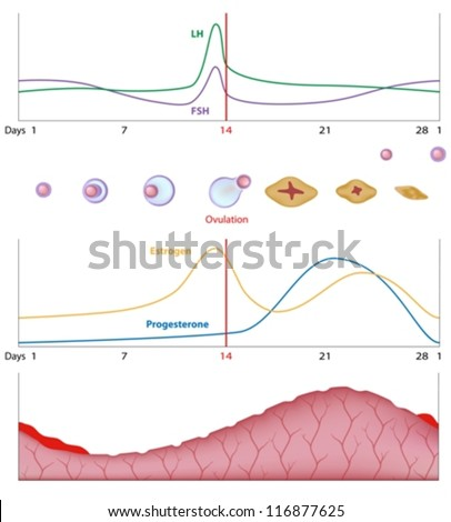 Female sexual cycle - stock vector