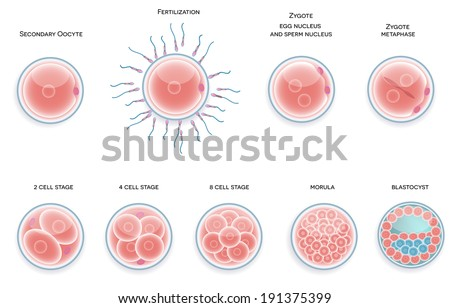 Fertilized cell development. Stages from fertilization till morula cell. - stock vector