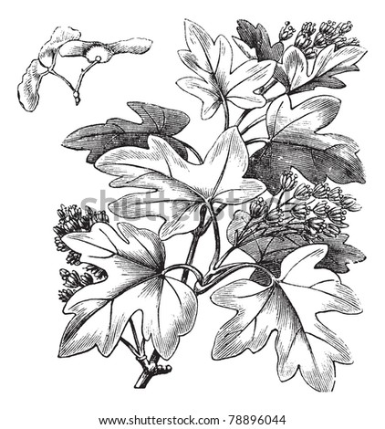 Field Maple or Hedge Maple or Acer campestre, vintage engraving. Old engraved illustration of a Field Maple showing flowers and winged seeds (upper left).  Trousset encyclopedia (1886 - 1891) - stock vector