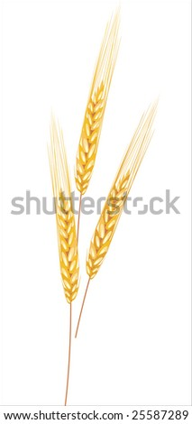 field with ears - stock vector