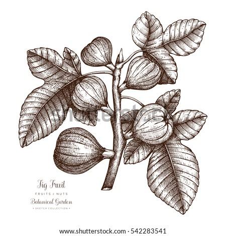 Fig tree botanical illustration vintage fig stock vector royalty fig tree botanical illustration vintage fig fruit sketch hand drawn vector altavistaventures Gallery