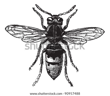 Fig 12. Wasp,  vintage engraved illustration. Wasp Isolated on white. Dictionary of words and things - Larive and Fleury - 1895. - stock vector