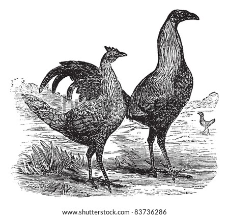 Fighting cock with its hen, vintage engraving. Old engraved illustration of Fighting cock and hen. Trousset encyclopedia (1886 - 1891). - stock vector