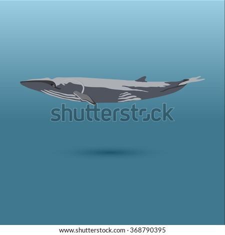 Finback into the sea / vector illustration / icon / whale, big whale, whales, whale on blue, whale, whale realistic, whale in sea - stock vector