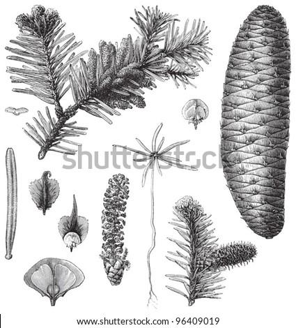 Fir (Abies pectinata) / vintage illustration from Meyers Konversations-Lexikon 1897 - stock vector