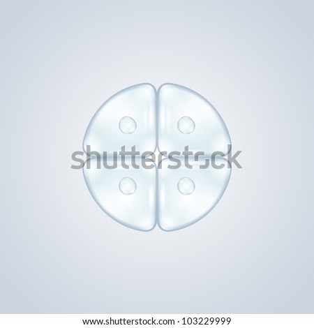 first cell division after fertilization - stock vector